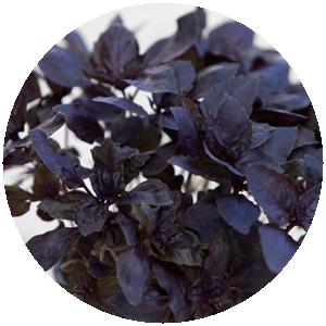 Basilikum rot | Gemüse- und Gartenbau Hausler | München