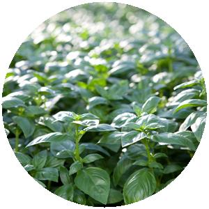 Basilikum | Gemüse- und Gartenbau Hausler | München