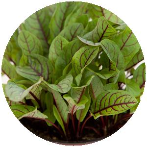 Blutampfer | Gemüse- und Gartenbau Hausler | München
