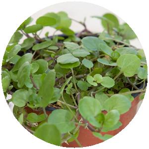 Brunnenkresse | Gemüse- und Gartenbau Hausler | München