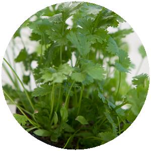 Koriander | Gemüse- und Gartenbau Hausler | München