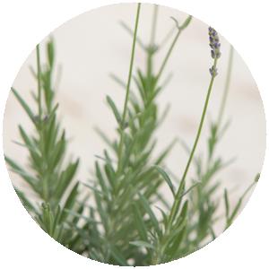Lavendel | Gemüse- und Gartenbau Hausler | München