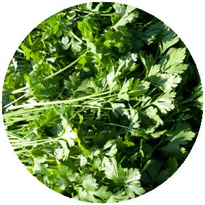 Petersilie glatt| Gemüse- und Gartenbau Hausler | München