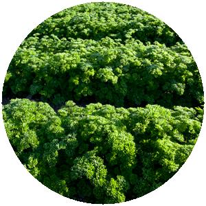 Petersilie krause| Gemüse- und Gartenbau Hausler | München