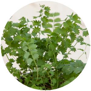 Pimpinelle| Gemüse- und Gartenbau Hausler | München