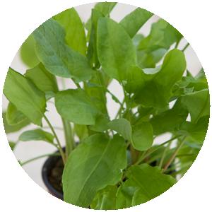 Sauerampfer| Gemüse- und Gartenbau Hausler | München