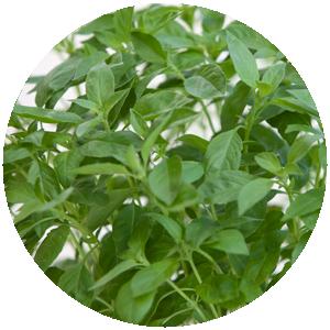 Thai Basilikum| Gemüse- und Gartenbau Hausler | München