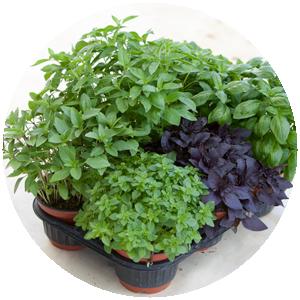 Topfkräuter | Gemüse- und Gartenbau Hausler | München